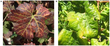 Comparison between Leafroll virus in red (A) and white (B) cultivars